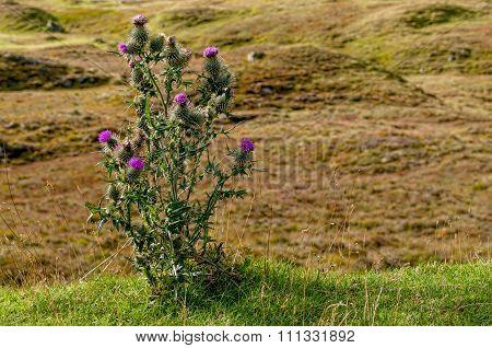 Wild thistle in Scotland