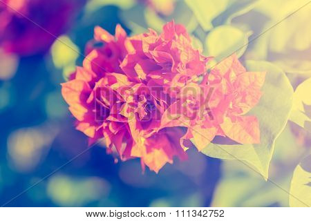 selective focus of Bougainvillea flowers in the morningvintage toning poster