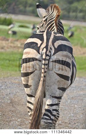 Zebra Buttock