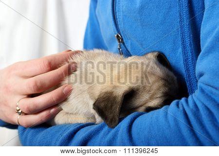 Embracing Newborn Pug Puppy