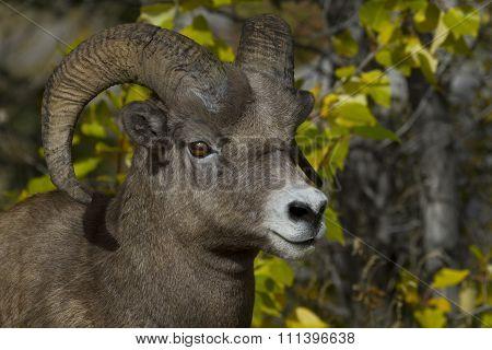 Alert Bighorn Sheep Ram In National Park