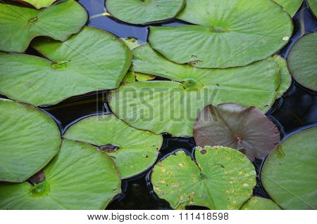 Pond Leaves