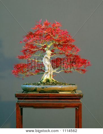 japanese maple acer palmatum 303 cm high spring coler original not photoshopped! styled by walter pall from imprted raw material pot by petra tomlinson poster