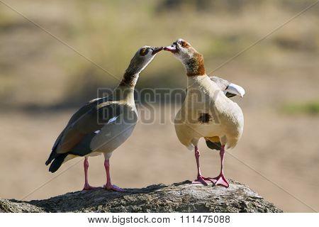 Egyptian Goose In Kruger National Park
