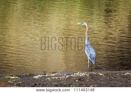 Goliath Heron In Kruger National Park