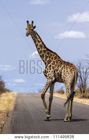 Giraffe on the road In Kruger National Park, South Africa