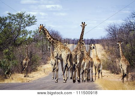 Big group of Giraffes on the road In Kruger National Park