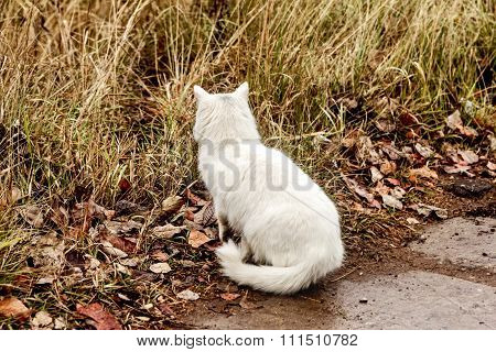 White Cat Hunting In Grass