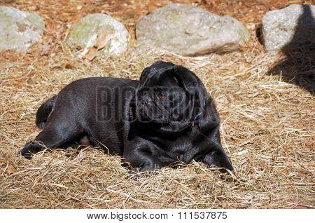 black pug resting on straw in a barnyard