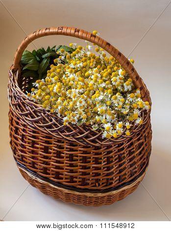 Harvest Matricaria Chamomilla