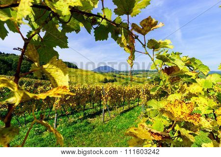 Colorful Autumnal  Vineyards Of Alsace, France