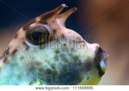 longhorn cowfish macro on dark background