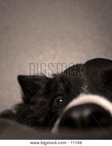 Boder Collie Eye