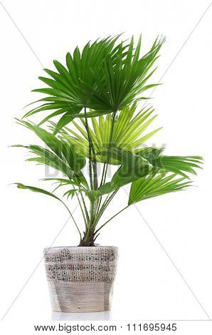 Palm tree (Livistona Rotundifolia) in flowerpot, isolated on white