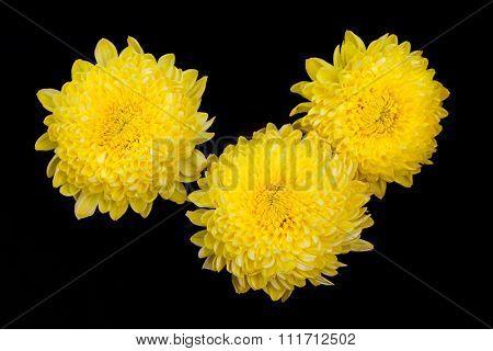 chrysanthemum flowers isolated on black