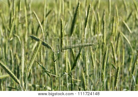 The cultivation of grain crops