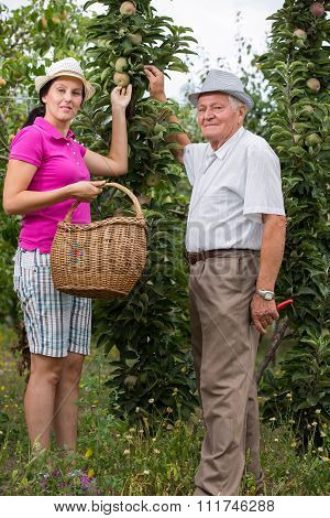 The younger woman helping an older man in the orchard, to pick apples