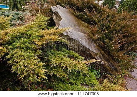 Yellow Thuja Occidentalis, Conifer Trees On Wet Stone