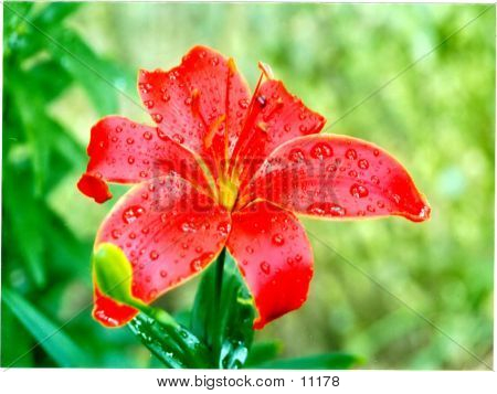 Exotic Lily After The Rain