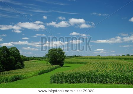 Cornfields in July