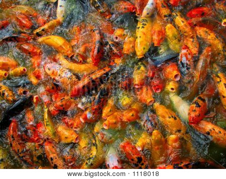 Carps At Chow Time