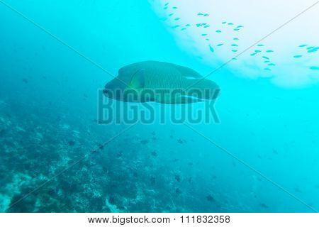 Napoleon Fish, Humphead Wrasse (cheilinus Undulatus)