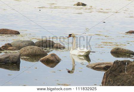 Swimming Swan On The Seaside