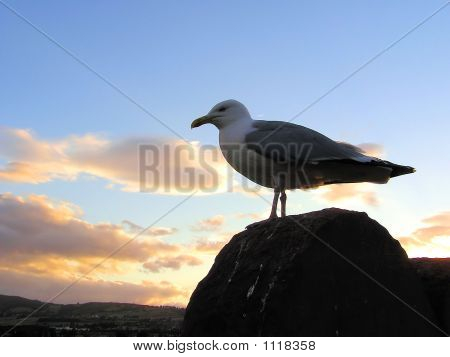 picture of a sea gull over a sunset sky poster