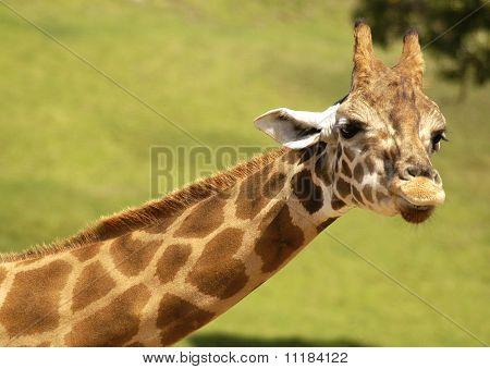 Giraffe with Heart Shaped marks