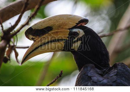 Portrait Of Oriental Pied Hornbill