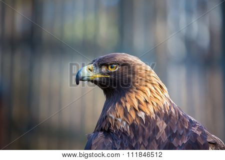 Golden Eagle, the king of the skies.