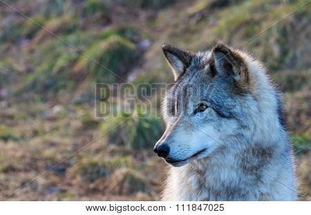 North American Grey Wolfe
