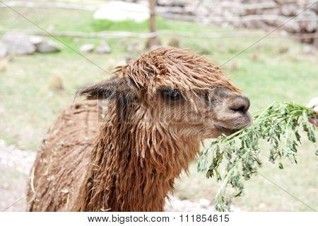 Alpaca At A Farm.