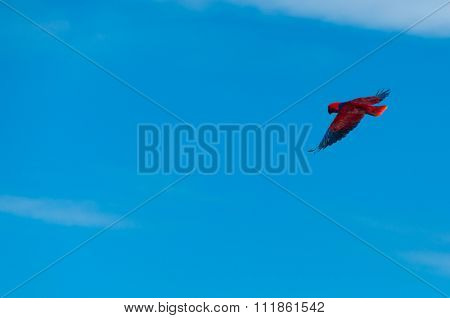Red Bird parrot Gliding Freely in the clear blue sky