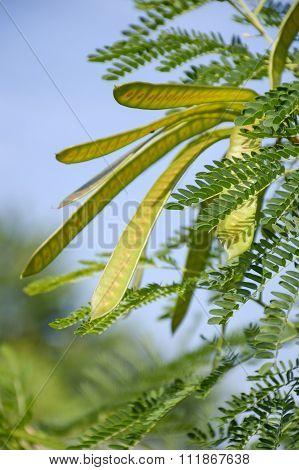 acacia tree in garden