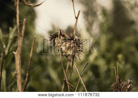 Dry Autumn Burr