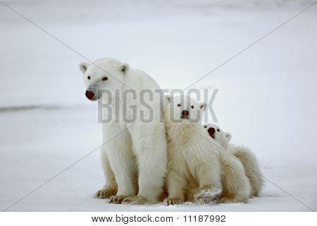 Ursa polar com os filhotes.
