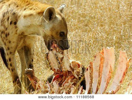 Gefleckter Hyaena
