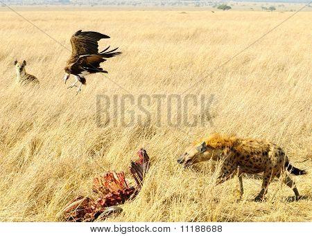 Savanne-Kampf um Nahrung