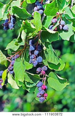 Garden berry bushes Amelanchier or Saskatoon (Amelanchier)