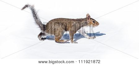 Squirrel walks like a bear on white background.