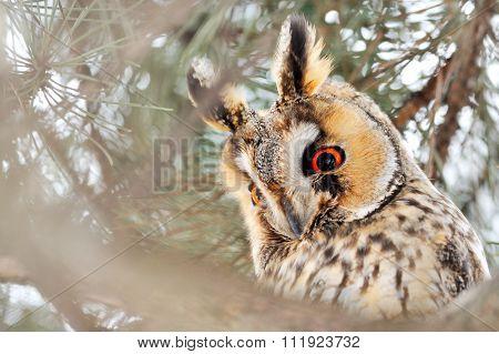 long-eared owl (Asio otus) in the tree in winter