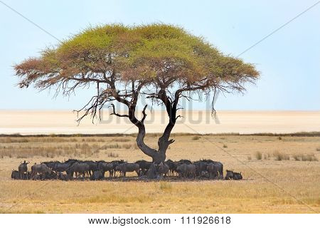 Herd of Blue wildebeest shading under a tree