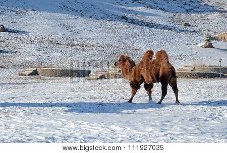 Bactrian camel in snowy mongolian steppe