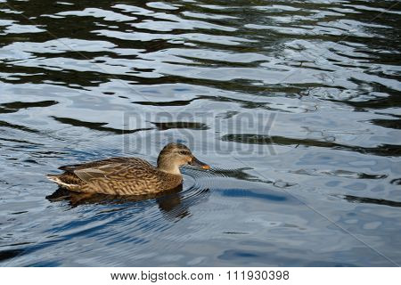 Duck In The Lake Water