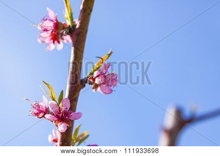 Cherry Blossoms on the Orchard Trees