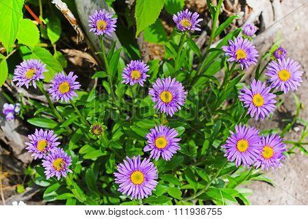 The Alpine Aster (Aster alpinus) is a perennial rhizomatous herbaceous or half-shrub plant
