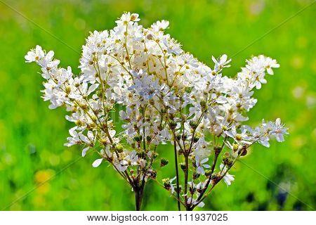 Meadowsweet or meadowsweet steppe (Filipendula hexapetala Gilib)