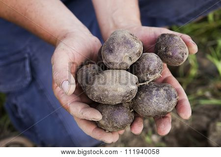 Harvesting Purple Potatoes