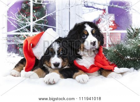 Christmas puppy,  bernese sennenhund in Santa Hat